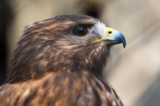 falcão pássaro raptor baixar fotos gratuitas