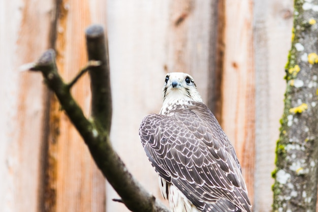Falcão saker, (falco, cherrug), bavaria, alemanha, europa Foto Premium