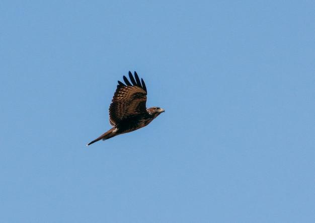 Falcão voando em um lindo céu azul Foto Premium