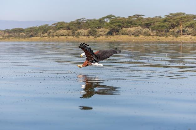 Falcão voando sobre a água Foto gratuita