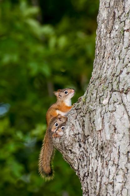 Família de esquilo-vermelho americano espiando do ninho em um velho tronco de árvore Foto Premium