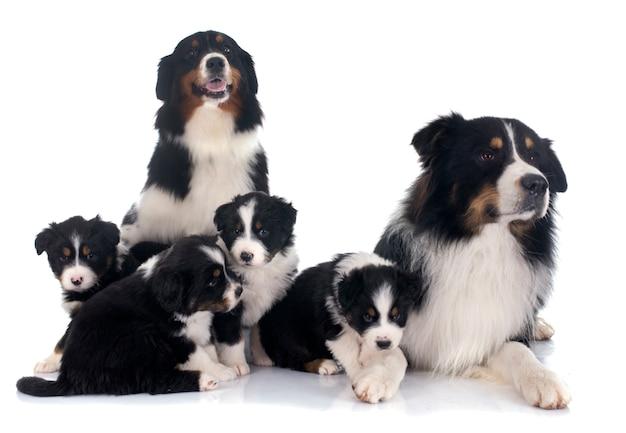 Família de pastor australiano Foto Premium