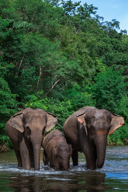 Família elefante, em, água Foto Premium