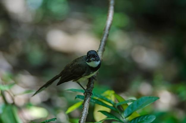 Fantail pied da malásia (rhipidura javanica) na natureza Foto Premium