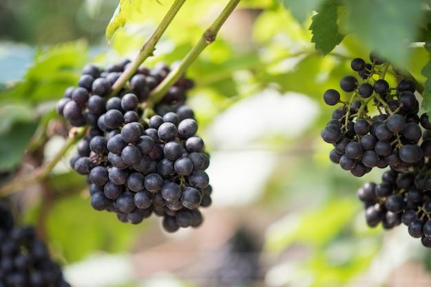 Fazenda colheita da uva Foto gratuita
