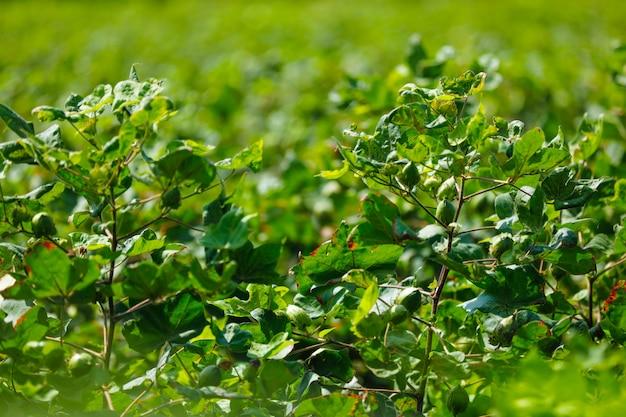 Fazenda de algodão verde Foto Premium