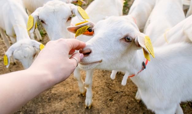 Fazenda de cabras. gado e animais reprodutores no campo. criação de animais para leite e carne Foto Premium