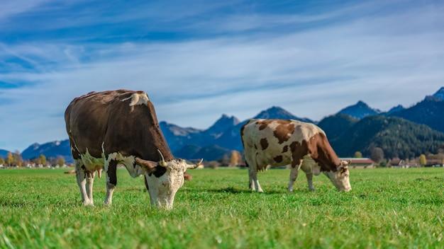 Fazenda de gado leiteiro Foto Premium