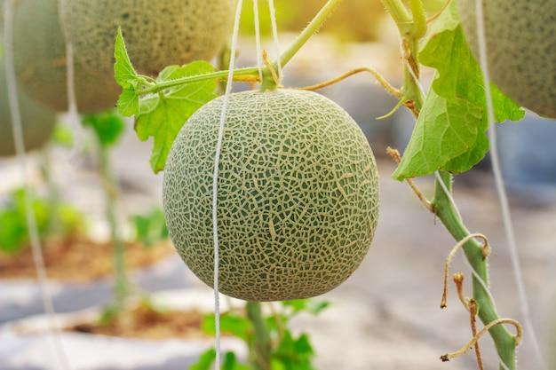 Fazenda de melão cantalupo japonês Foto Premium