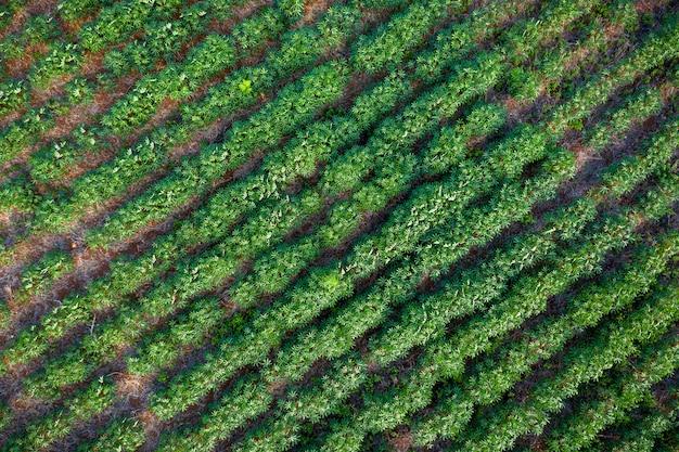 Fazenda de tapioca na área agrícola na vista aérea de tailândia Foto Premium