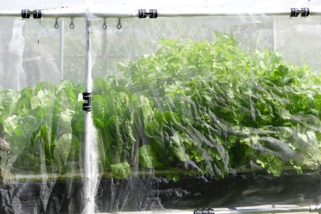 Fazenda de vegetal hidropônica orgânica crescendo em estufa Foto Premium