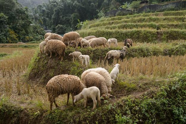 Fazenda ovelha, em, a, vale sagrado, mae hong filho, tailandia Foto Premium