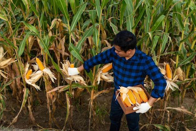 Fazendeiro que inspeciona a espiga de milho em seu campo, milho para a alimentação animal. Foto Premium