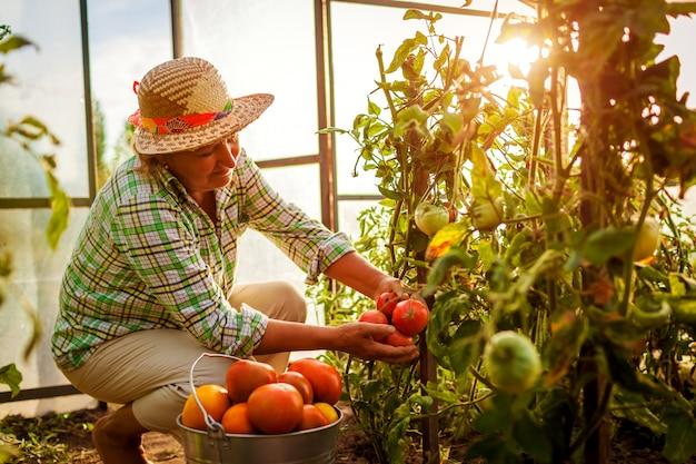 Fazendeiro sênior da mulher que recolhe a colheita dos tomates na estufa na exploração agrícola. Foto Premium