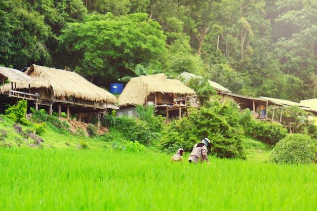Fazendeiro trabalhando no campo de arroz Foto Premium