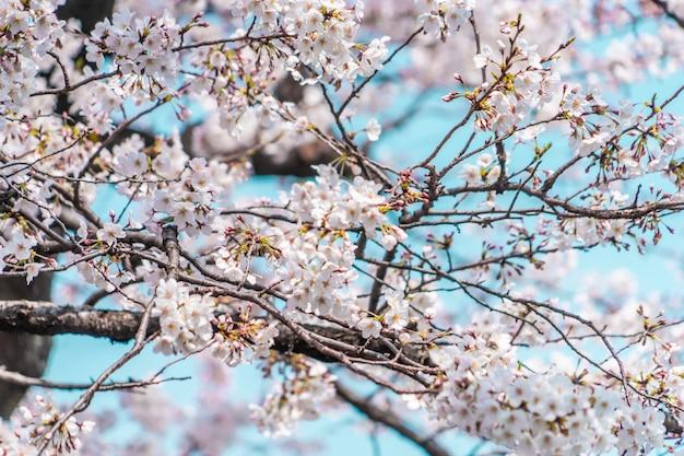Fechado tiro de sakura flor de cerejeira e ramos Foto Premium