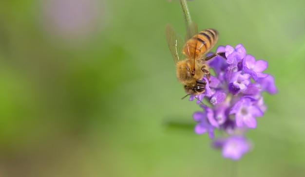 Fechar em uma abelha em uma flor de lavanda em verde Foto Premium
