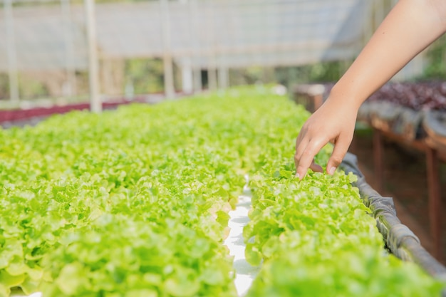 Fechar o agricultor de mão no jardim hidropônico durante fundo de comida de manhã Foto gratuita