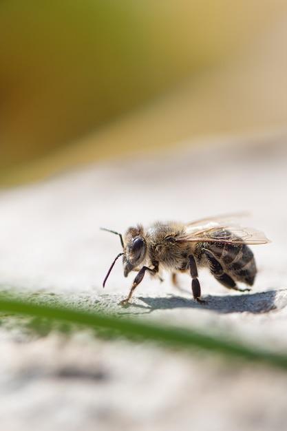 Feche acima da abelha do mel no jardim. Foto gratuita