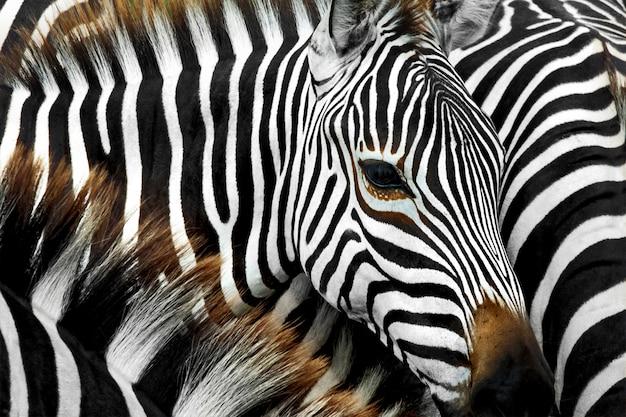 Feche acima da cabeça da zebra que está em muitos rebanhos da zebra. Foto Premium