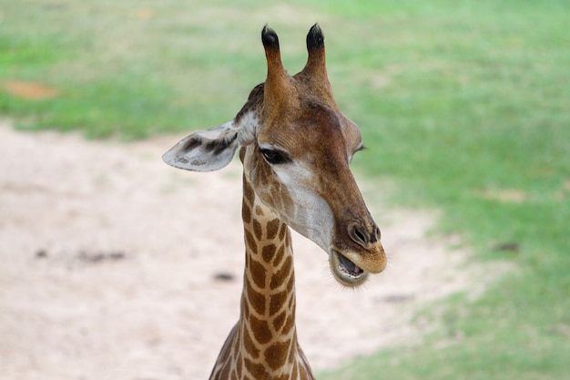 Feche acima da cabeça girafa no jardim na tailândia Foto Premium