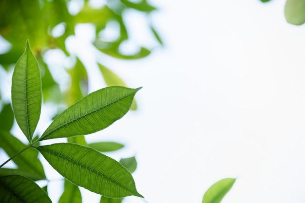 Feche acima da folha verde da vista da natureza com gota da chuva no fundo borrado das hortaliças sob a luz solar com bokeh e copie a paisagem natural das plantas do fundo do espaço, Foto Premium