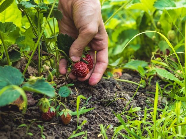 Feche acima da mão, pegando um morango crescendo no jardim Foto Premium