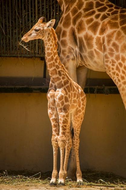 Feche acima da opinião um girafa em um jardim zoológico. Foto Premium