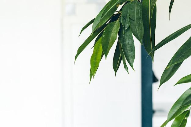 Feche acima da planta interna verde na parede branca Foto Premium