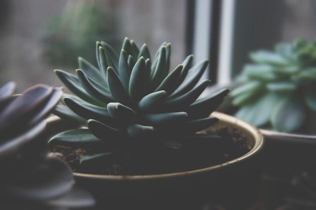 Feche acima da planta suculenta, foto escura, roseta tonificada da succulent do echeveria. Foto Premium