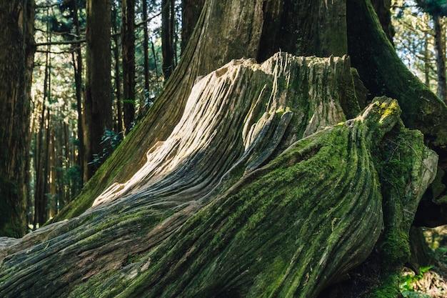Feche acima da raiz gigante de pinheiros vivo longos com musgo na floresta na área de recreação nacional da floresta de alishan no condado de chiayi, distrito de alishan, taiwan. Foto Premium