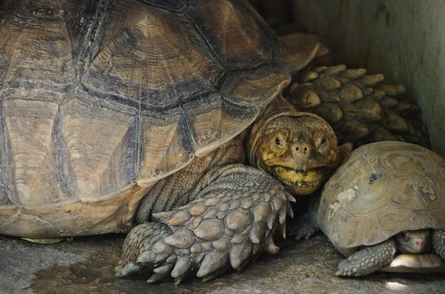 Feche acima da tartaruga alongada. Foto Premium