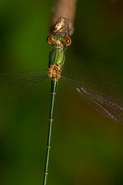 Feche acima da vista do inseto bonito do damselfly do sul da esmeralda (barbarus de lestes). Foto Premium