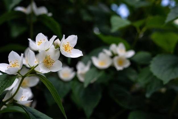 Feche acima das flores do jasmim em um jardim. Foto Premium