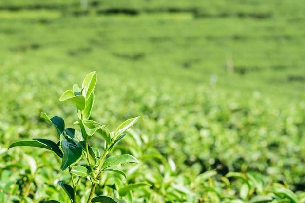 Feche acima das folhas do chá verde na exploração agrícola em platôs no campo de tailândia. Foto Premium