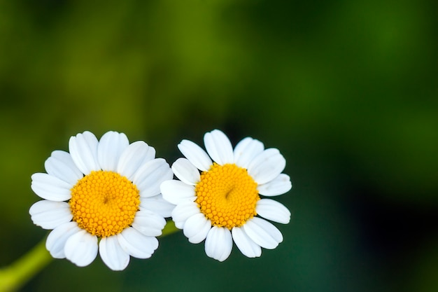 Feche acima das margaridas brancas pequenas flores Foto Premium