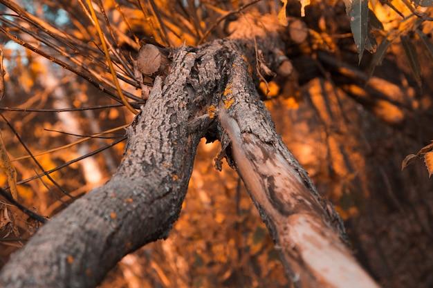 Feche acima de uma casca de árvore velha na da floresta do outono. Foto Premium