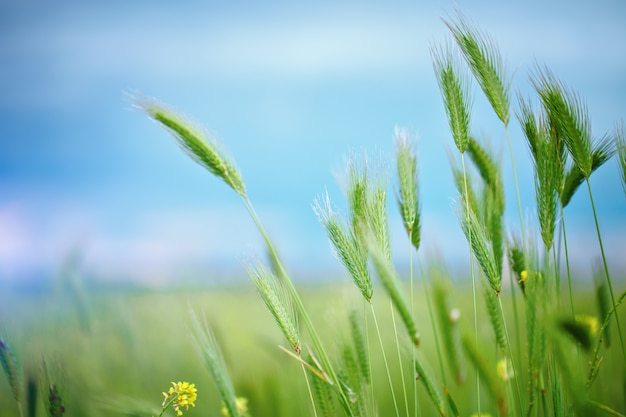 Feche acima do campo de grão no verão. Foto Premium