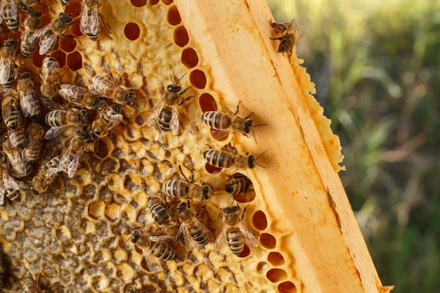 Feche acima do favo de mel na moldura de madeira com abelhas nele Foto Premium