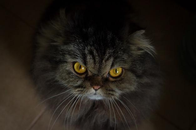 Feche acima do retrato do gato scotish peludo cinzento irritado sério com os olhos alaranjados que olham na câmera Foto Premium