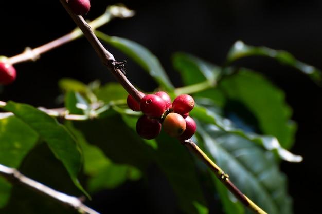 Feche acima dos feijões de café frescos na árvore. Foto Premium