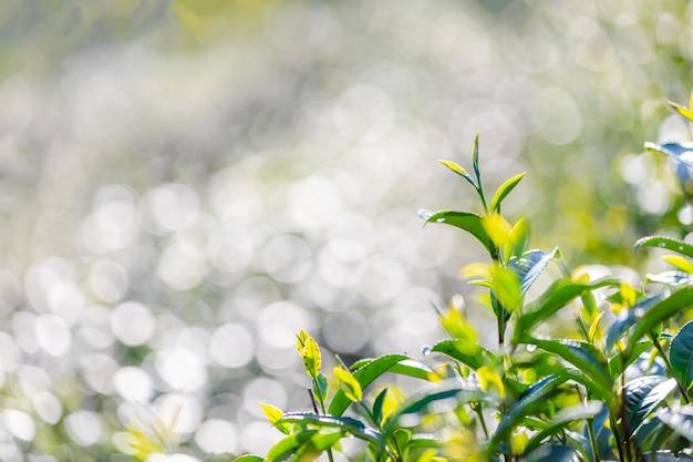 Feche acima e o foco seletivo às folhas macias do chá verde e borre o bokeh claro Foto Premium