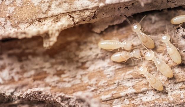 Feche acima, formigas brancas ou térmitas macro na madeira de decomposição. Foto Premium