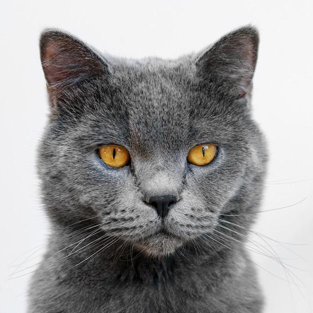 Feche O Retrato Do Gato Britânico De Pêlo Curto Sobre Fundo Branco Foto Premium