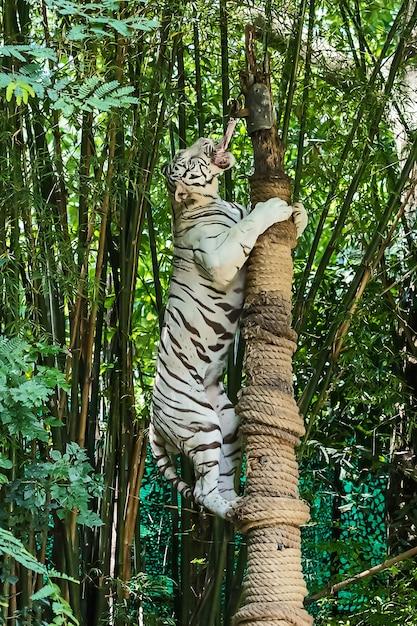 Feche o tigre branco. Foto Premium