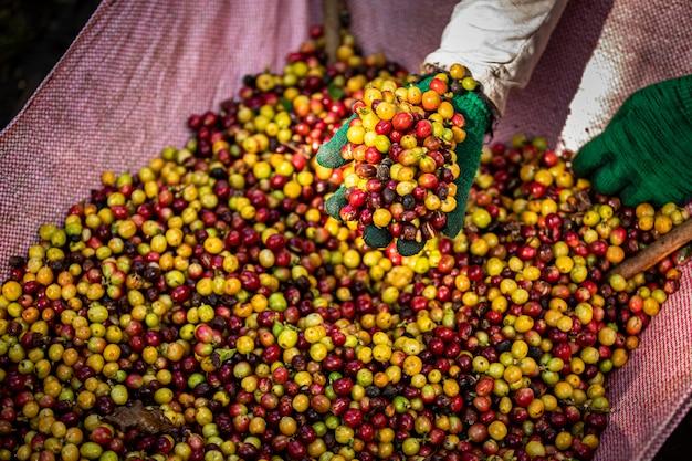 Feijões de café crus e folhas verdes na área agrícola na montanha chiang rai tailândia Foto Premium