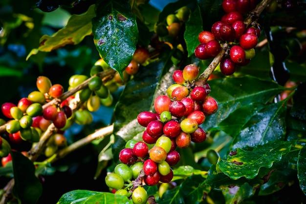 Feijões e folhas de café crus na estação da chuva na área agrícola chiang rai tailândia Foto Premium