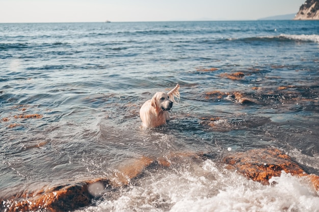 Feliz alegre golden retriever nadando, correndo, pulando, joga com água na costa do mar no verão. Foto Premium