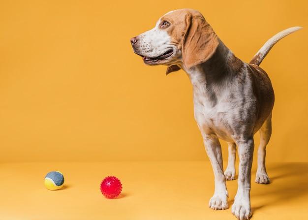 Feliz cachorro fofo e bolas de borracha Foto gratuita