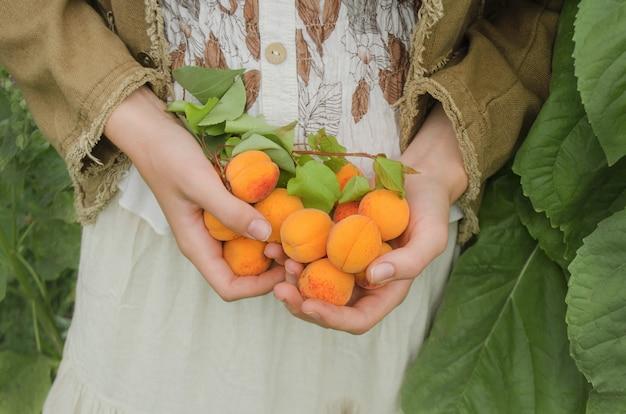 Feminino mão escolhendo damasco. Foto Premium